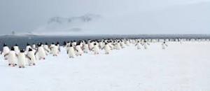 Yankee Harbor penguin