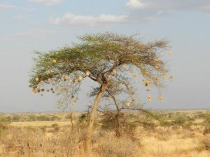 acacia tree with nests