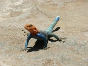 red head agama lizard