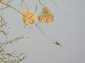 weaver in flight