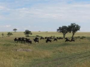 wildebeasts