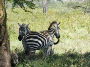 zebras protecting flanks